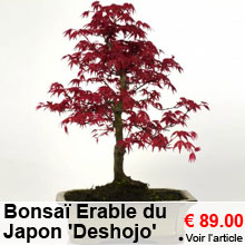 Bonsaï Erable du Japon 'Deshojo' 8 ans - 89.00 €