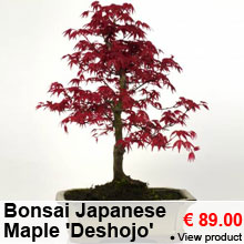 Japanese Maple Bonsai 'Deshojo' 8 years - 89.00 €
