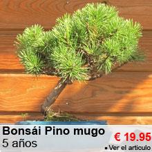 Bons�i Pino mugo 5 a�os - 19.95 €