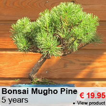 Bonsai Mugho Pine 5 years - 19.95 €