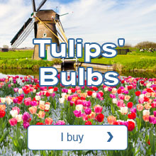 Tulips' bulbs