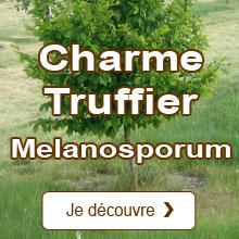 Truffe noire du Périgord / Tuber melanosporum Charme Commun Truffier