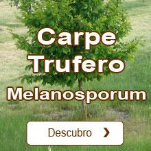 Trufa negra del Périgord / Tuber melanosporum Carpe Trufero