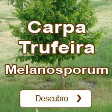 Trufa negra de Périgord / Tuber melanosporum Carpa Trufeira