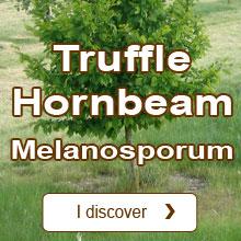 Black Perigord Truffle / Tuber melanosporum Truffle Hornbeam