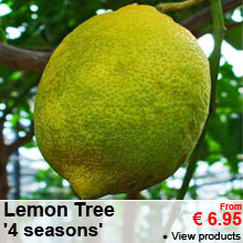 Lemon Tree, '4 seasons' - From 6.95 €