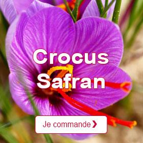 Crocus Safran