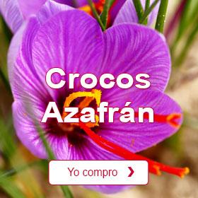 Crocos Azafrán