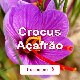 Crocus Açafrão