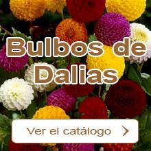 Bulbos de Dalias