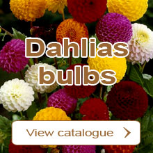 Dahlias bulbs