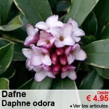 Dafne, Daphne odora - A partir de 4.95 €