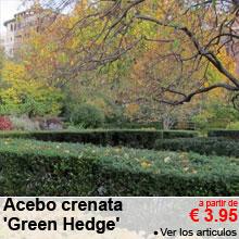 Acebo crenata 'Green Hedge' - a partir de 3.95 €