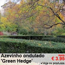 Azevinho ondulado 'Green Hedge' - desde 3.95 €