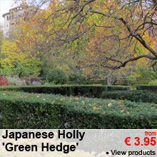 Japanese Holly 'Green Hedge' - from 3.95 €