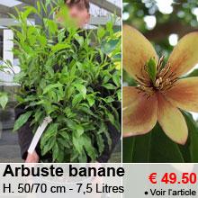 Arbuste banane - 50/70 cm - 7,5 L - 49.50 €