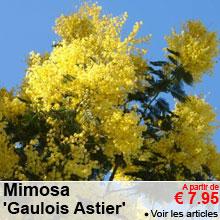 Mimosa 'Gaulois Astier' - a partir de 7.95 €