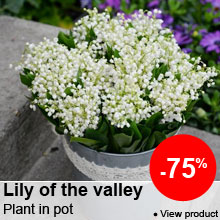Great, low prices on Lily of the valley -75%