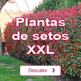 Plantas de seto XXL
