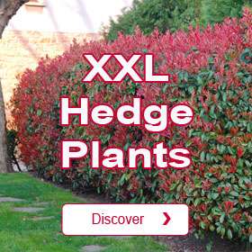 Mature Hedge Plants