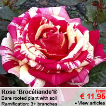 Rose 'Broc�liande'® - Bare rooted plant with soil - Ramification: 3+ branches - From 11.95 €