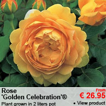 Rose 'Golden Celebration'® - Plant grown in 2 liters pot - Ramification: 3+ branches - From 26.95 €