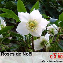 Roses de Noël - a partir de 3.50 €