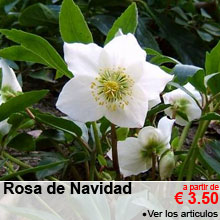 Rosas de Navidad - a partir de 3.50 €