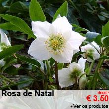 Rosas de Natal - desde 3.50 €