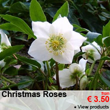 Christmas Rose - from 3.50 €