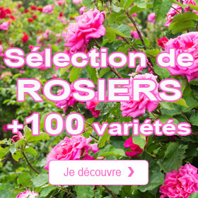 Les rosiers du moment