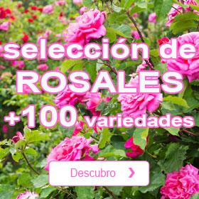 Los rosales del momento
