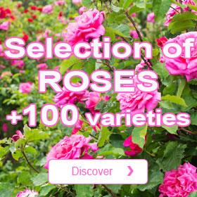 In stock Roses