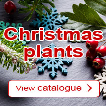 Christmas : Our selection of plants