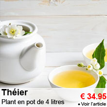 Th�ier - Plant en pot de 4 litres - 34.95 €