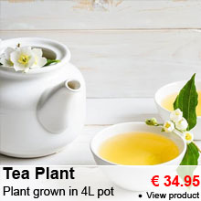 Tea Plant - Plant grown in 4 liters pot - 34.95 €