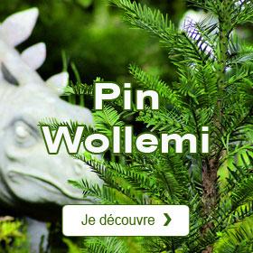 Pin Wollemi