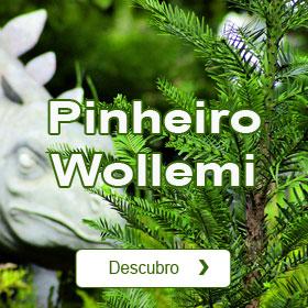 Pinheiro Wollemi