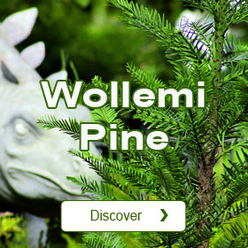 Wollemi pine