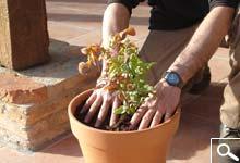 Plantación en Maceta o Jardinera