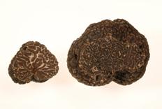 Tuber melanosporum – Trufa del Périgord