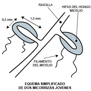 Equema simplificado de dos micorrizas jovenes