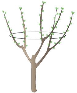 Taille des arbres fruitiers quand et comment - Quand tailler un olivier ...