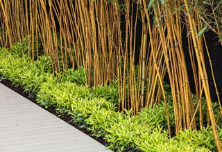 Plantation d\'une haie de bambou
