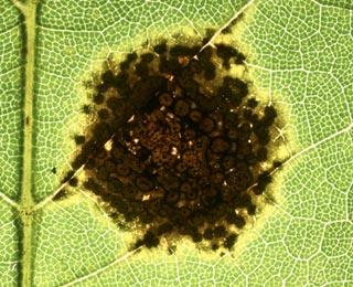 plante verte tache noire