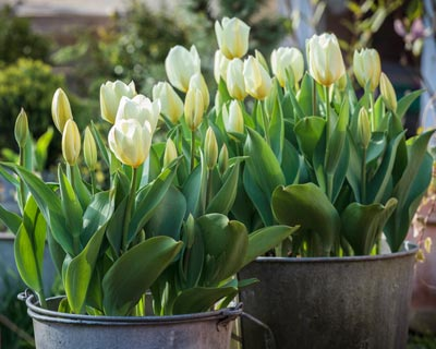 bulbe tulipes plantation