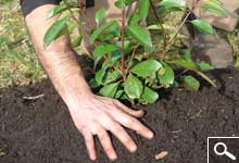 Planting Balled or container grown plants