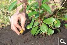 Plantação de plantas em torrão ou em contentor