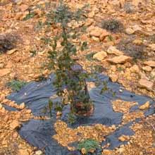 Plantacion de Plantas Truferas