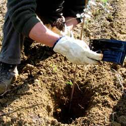 Plantación de plantas truferas